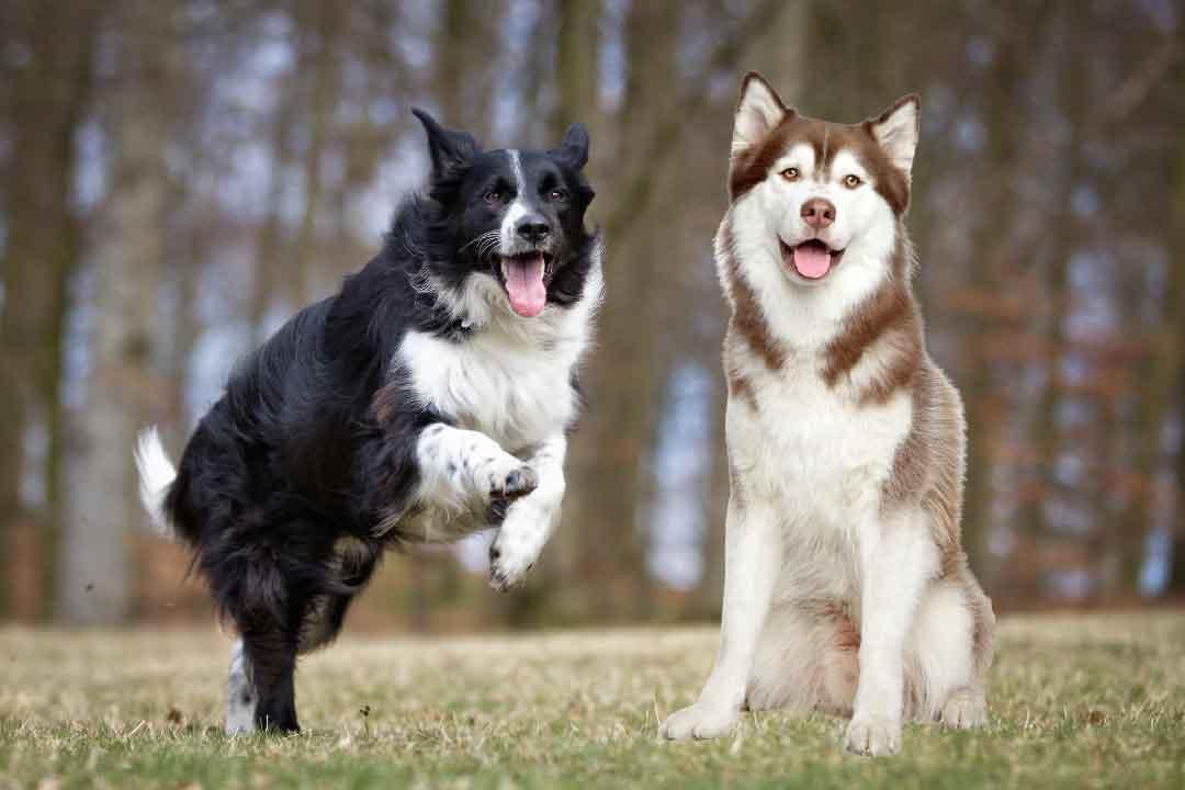 Border Collie Croisé Husky, Colley, race de chien, les animaux de la compagnie, chien de compagnie.