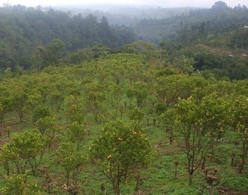 Agrotourism Bali Kintamani Orange Plantation BaliBeaches: Agrotourism Bali - Kintamani Orange Plantation