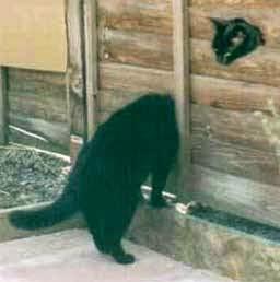 gato preto do lado de fora e do lado de dentro de uma porta de madeira
