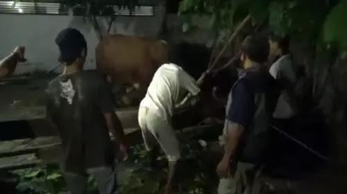 Sapi Kurban Presiden Jokowi Ngamuk, Pohon Roboh dan Warga Kocar-kacir