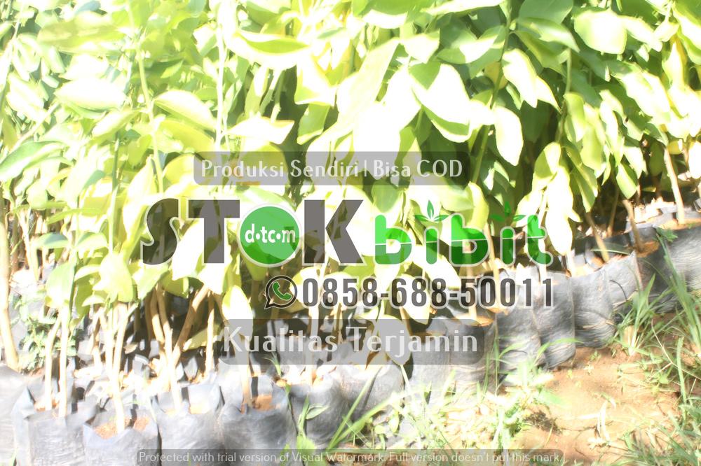 Bibit jeruk Dekopon | Bibit jeruk Nagami    berkualitas       Unggul
