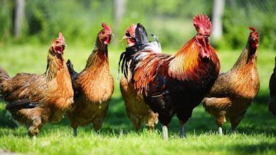 قصة المُزارع والدجاجات والثعلب