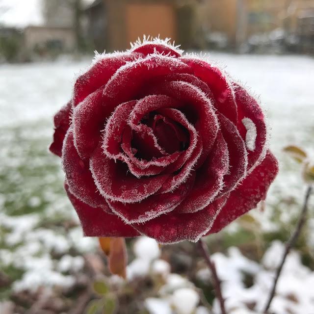 rote Rose weißer Rauh-Reif  Winter Rosenblüte Schnee
