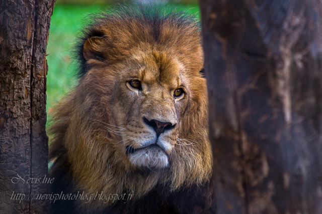 lion zoo fitilieu isere
