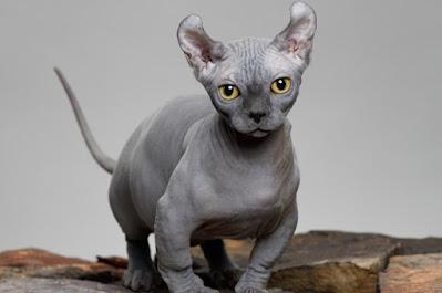 Sejarah Kucing Dwerf