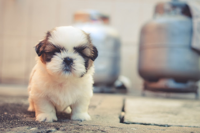 White and Brown Long hair Puppy HD Wallpaper