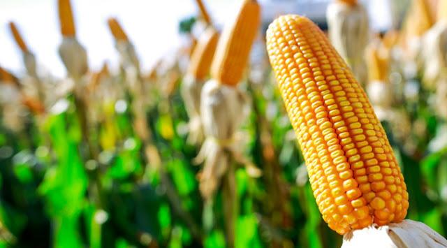Chuva anima produtores de milho, mas aumento de oferta reduz preço em MT
