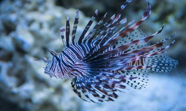 Ikan hias air laut Lion Fish