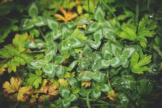 Le trèfle et d'autres herbes