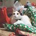 Αρέσουν τα Χριστούγεννα στην γάτα;