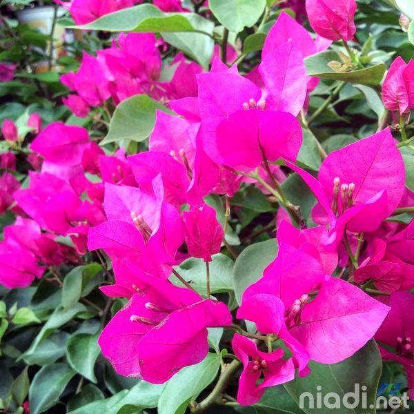 manfaat bunga kertas bougenville