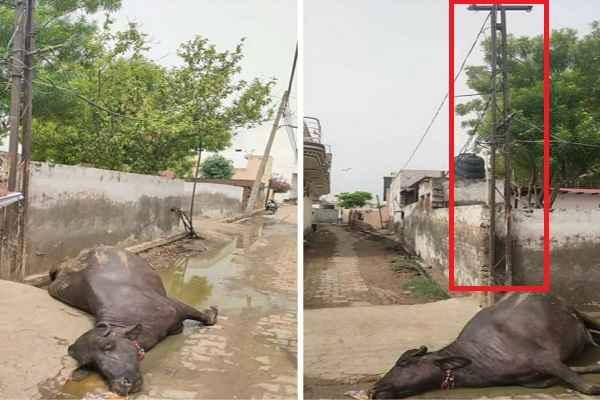 tigaon-news-bhains-dead-current-in-iron-pole-pappu-nagar-10-july
