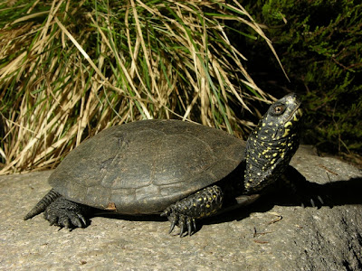 tortuga europea de los estanques Emys orbicularis