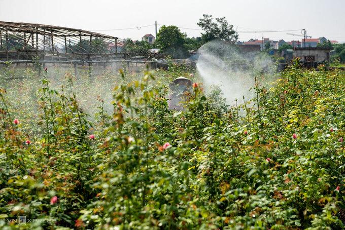 Nông dân Tây Tựu phun thuốc trên ruộng hoa hồng. Ảnh: Thanh Huế.