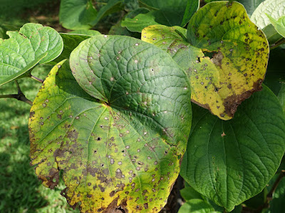 herbal, kandungan tanaman kava, kava, kava kava, kegunaan tanaman kava, manfaat kava, Manfaat Tanaman Herbal, Piper methysticum, tanaman kava,