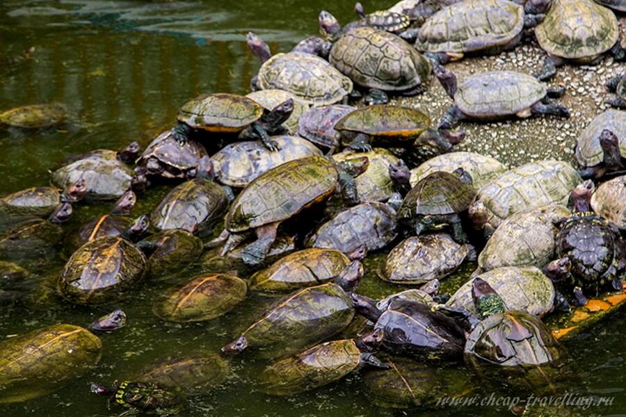 Черепахи у храма