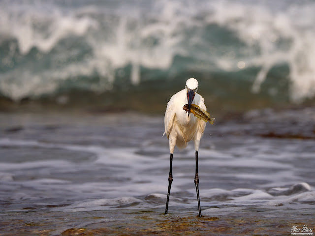 Egret Caught a Fish