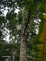 Para rubber tree - Ho'omaluhia Botanical Garden, Kaneohe, HI