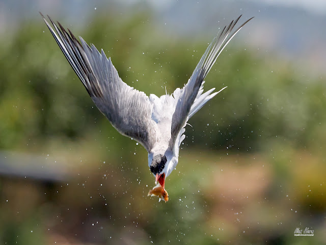 Tern Catching Fish in the Air