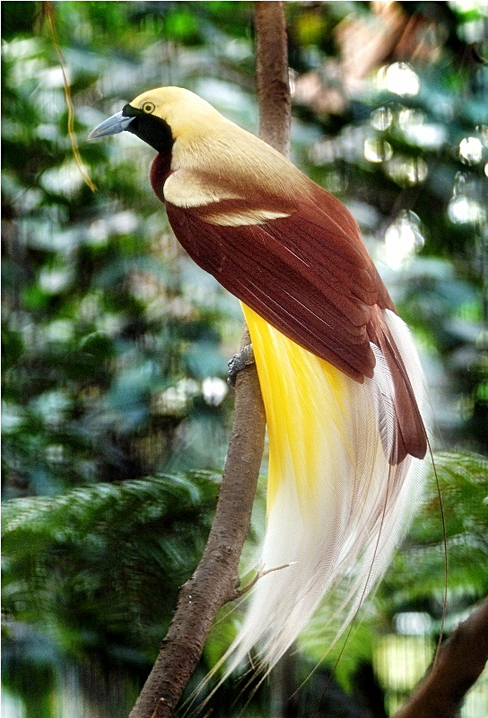 Burung Cendrawasih Kuning Ocehan Kenari