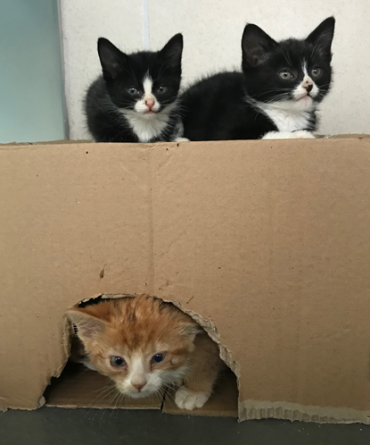 two black and white kitten on top of a cardboard box, with a ginger and white kitten underneath
