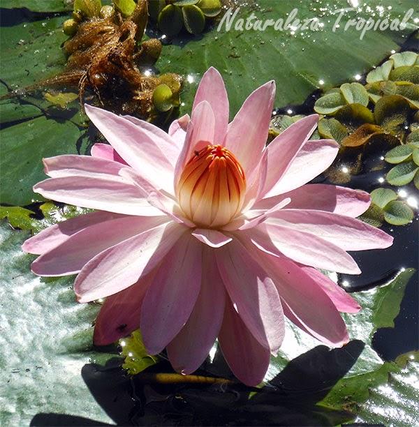 La flor Nenúfar, género Nymphaea