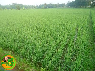 Cara aplikasi dan dosis pupuk untuk tanaman padi.