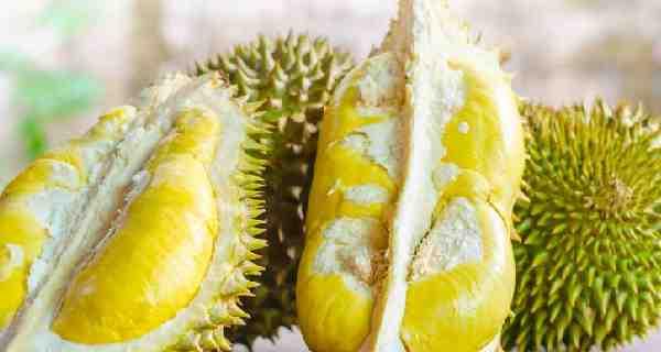 Cara Memilih Durian Yang Bagus dan Manis - Durian merupakan buah tropis yang berasal dari wilayah asia tenggara.  Sesuai dengan namanya, durian mempunyai ciri khas yaitu kulit buahnya yang keras dan berlekuk-lekuk tajam sehingga menyerupai duri. Bukan hanya durinya, durian pun meiliki aroma yang menyengat.    Bagi yang menyukai durian. apabila menciumnya ingin langsung menyantapnya. Sebaliknya bagi yang tidak menyukainya apabila menciumnya akan langsung merasa mual dan pusing.    Pohon durian bisa mencapai tinggi 25-50 meter dengan kulit batang berwarna coklat kemerahan mengelupas tak beraturan tajuknya rindang dan renggang . Daun berbentuk jorong hingga lanset terletak berseling, bertangkai, berpangkal lancip dan berujung lancip melandai dengan sisi atas berwarna hijau muda dibagian bawah daun seperti sisik-sisik berwarna keemasan dengan bulu-bulu bintang. Bunga muncul langsung dari batang berkelompok 3-10 kuntum kuncup bunga nya membulat diameter 2cm bertangkai panjang.     Bunga ini mengeluarkan aroma wangi yang berasal dari kelenjar nektar dibagian pangkalnya untuk menarik perhatian kelelawar sebagai penyerbuk utamanya. Buah durian berbentuk bulat seperti kapsul tapi besar dengan panjang 25cm dengan diameter 20cm kulit berpermukaan tajam dengsn ujung runcing berwarna hijau jika belum matang berwarna kekuningan atau ke coklatan hingga kemerahan sesuai jenis durian tersebut.    Satu buah durian bisa memiliki 5 bilik atau ruang yang menunju kan banyaknya daun buah yang dimiliki selain itu juga jadi tempat beberapa biji biasanya tiga biji bahkan lebih dengan ujung kanan kiri lonjong lebih besar dari pada yang berada di tengah dengan warna cream. yang kita nikmati adalah pembukus biji atau daging buah dengan ke tebalan yang bervariasi tergantung spesies. Biji buah durian disebut pongge dan di daerah jawa biasanya biji durian atau pongge ini dikonsumsi seperti kacang dengan cara direbus terlebih dahulu untuk melunakkan bijinya.    Kandungan dalam buah durian :    Seti