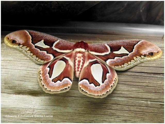 """Mariposa espejo de las chilcas"" Rothschildia jacobaeae - Chacra Educativa St. Lucía"