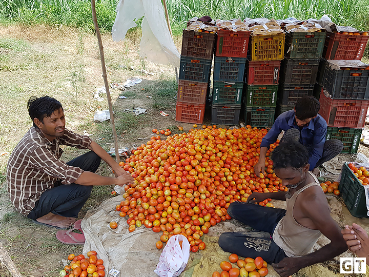 amroha-tomato-story