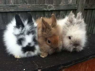Lion Head Rabbit Colours