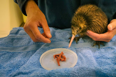 A kiwi chick bred in captivity, being fed.