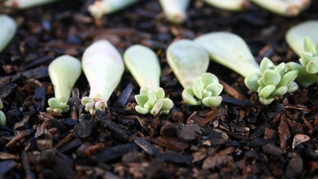 Pflanzen von saftigen Stecklingen in Vermehrungsböden
