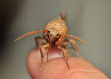 A beige Vampire Moth sitting on a person's finger and looking directly into the camera.