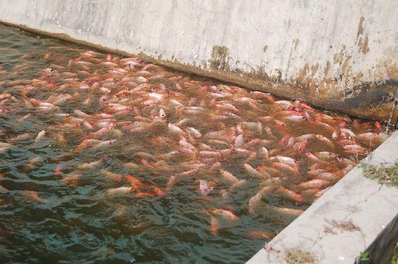 budidaya ikan nila merah di kolam terpal