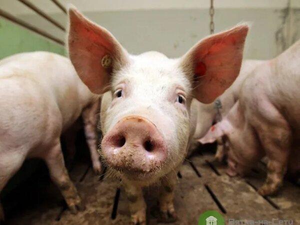 Свинья съела хозяина, кормившего её на убой!