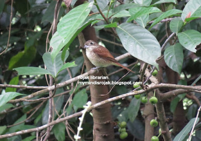 Tiger Shrike in Bidadari