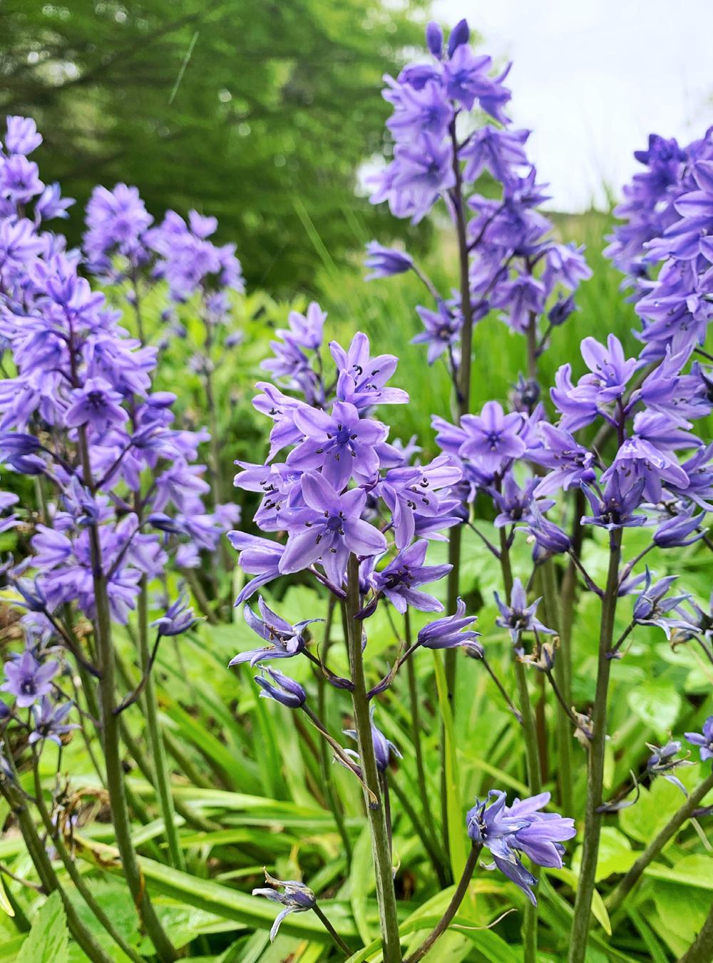 Rainy bluebells in the Parade Gardens, Bath - Emma Louise Layla, UK travel & lifestyle blog