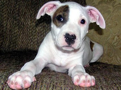 American Pit Bull Terrier Puppies Puppies Dog Breed