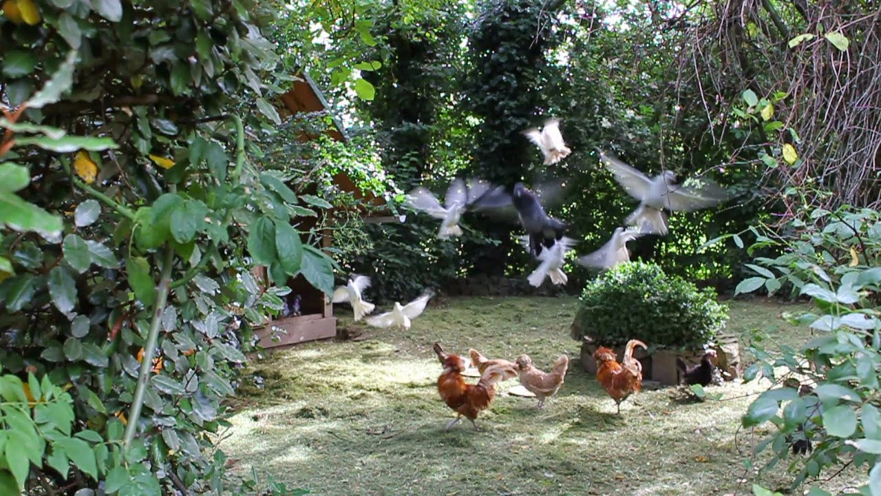 Organic chickens and fantails in a food forest