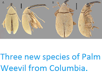 https://sciencythoughts.blogspot.com/2013/06/three-new-species-of-palm-weevil-from.html