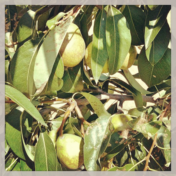 pears,nature,Country lanscapes,Santiago, Chile, iPhoneography Selection January 7 2013,pablolarah,Pablo Lara H Blog