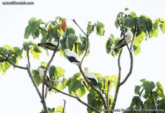Pied Imperial Pigeon in Waigeo of Raja Ampat archipelago