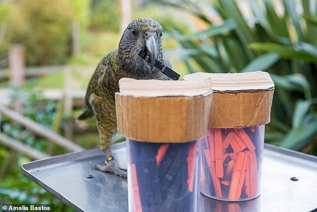 Ευφυείς παπαγάλοι είναι σε θέση να μετρήσουν, να ζυγίσουν τις πιθανότητες και να κάνουν προβλέψεις ακριβώς όπως οι άνθρωποι!