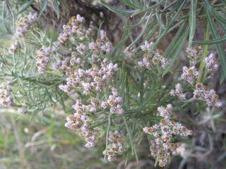 manfaat-bunga-edelweis-untuk-kesehatan-dan-kecantikan.jpg