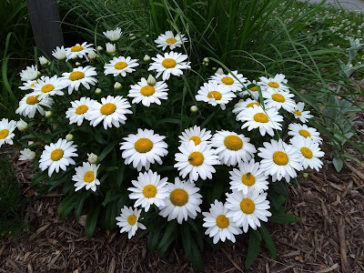 Clump of white daisies