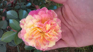 chăm sóc hoa hồng ngoại bằng phân bón chuối