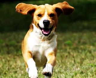 Anjing lari