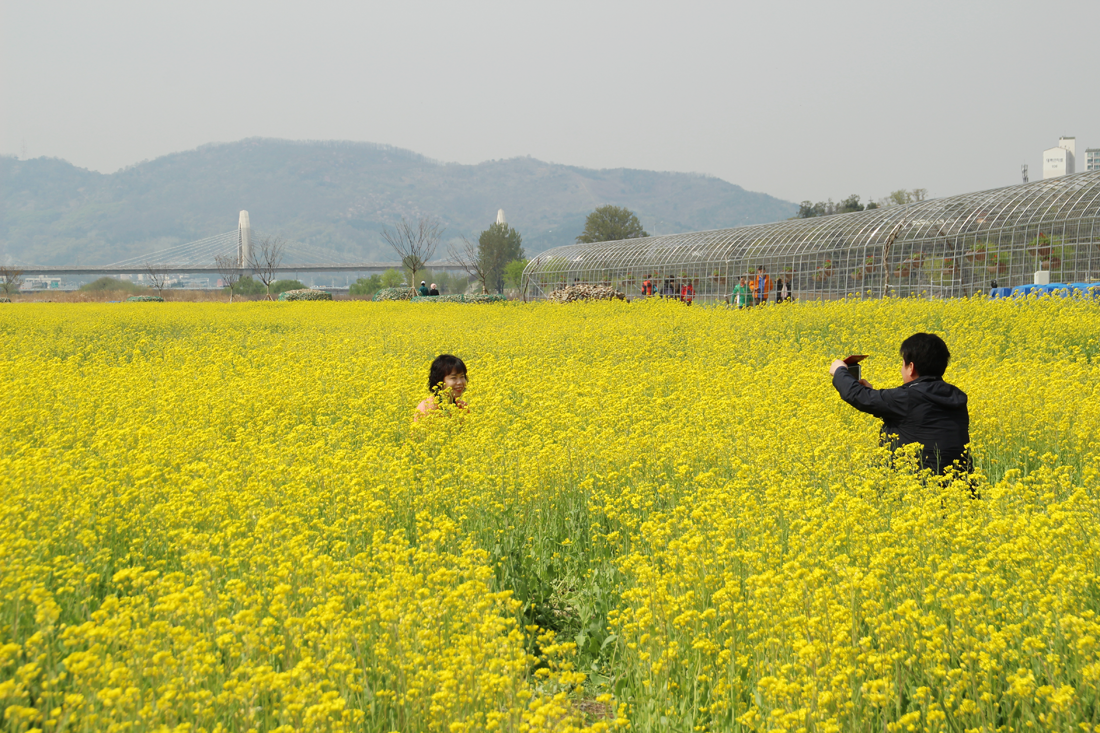 Fun free daegu travel spring scenery of yellow canola flower today daegu travel went to hajungdo island to catch the spring views of the canola flower fields mightylinksfo