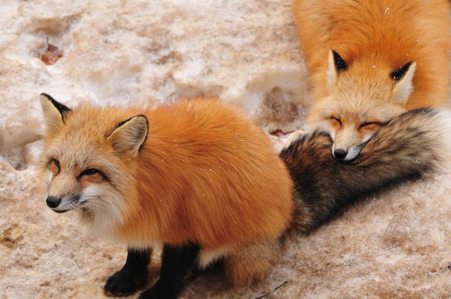 zao-fox-village-japan-9